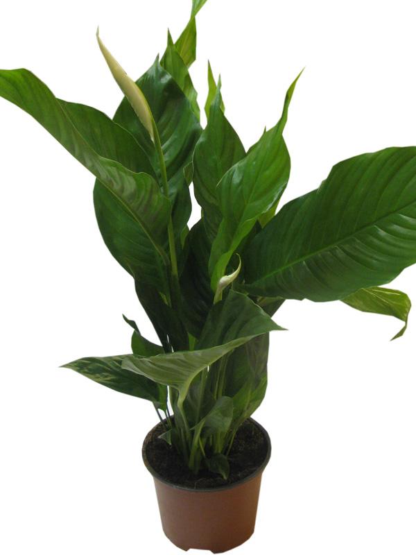 Купить цветок Спатифиллум в Москве Цены Отзывы и