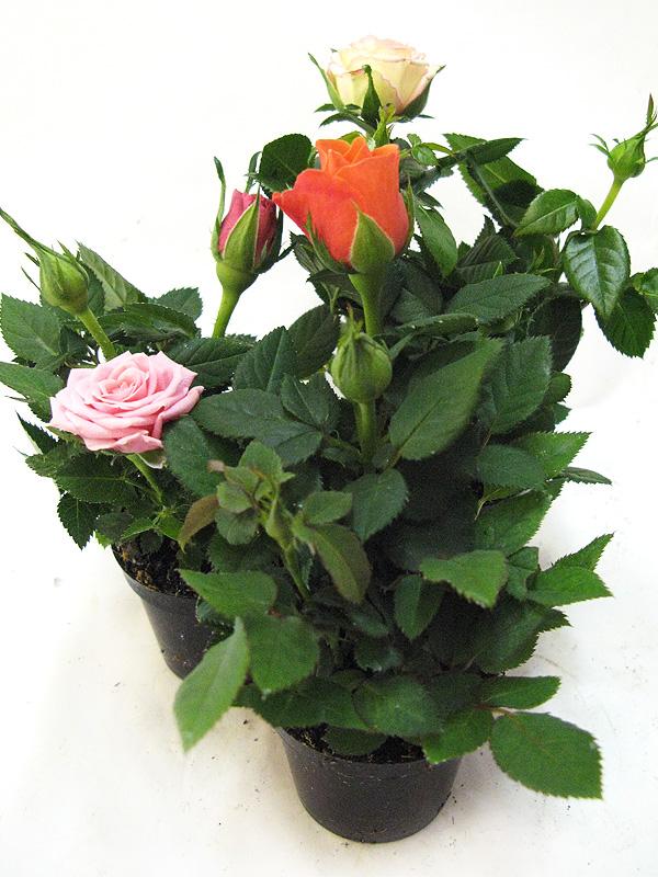 роза мини микс