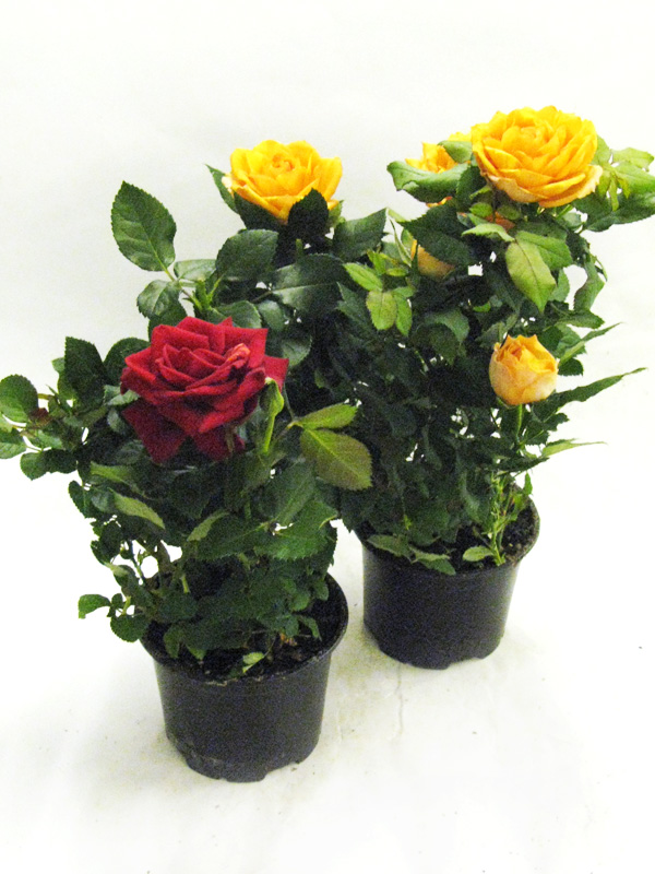 фотографии роза гранд даника фото зависимости формы